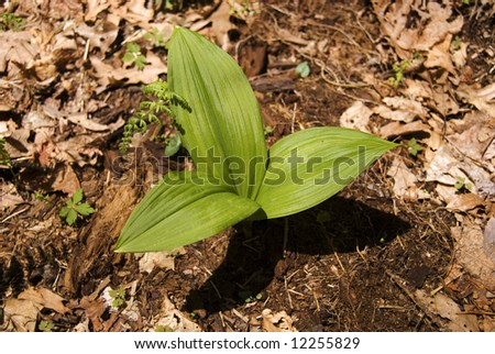 Three trillium leaves sprouting from a brown forest floor