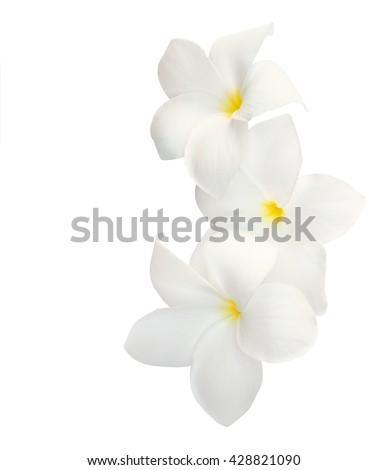 Three tropical flowers (Plumeria) isolated on white. - stock photo