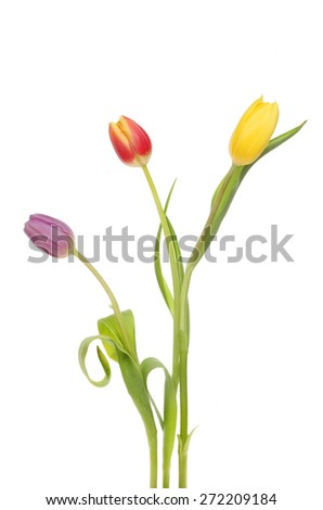 Three tulip flowers isolated against white - stock photo