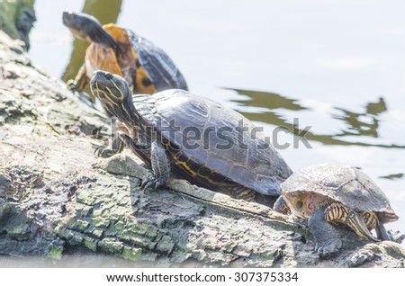 Three turtles basking on a log. - stock photo