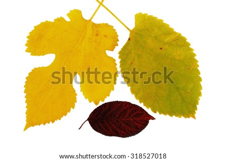 three various colorful autumn  leaves over white background