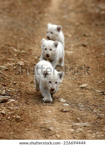 Three very young baby white lion walks towards the camera. - stock photo