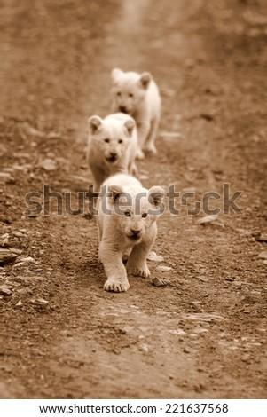 Three very young baby white lion walks towards the camera. - stock photo