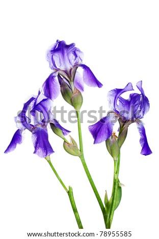 Three violet irises isolated on white background - stock photo
