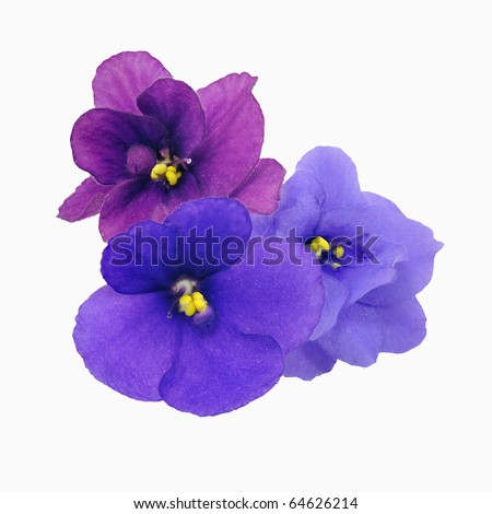 Three violets with different shade of violet over white background - stock photo