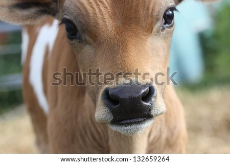 Three week old Jersey bull calf. - stock photo
