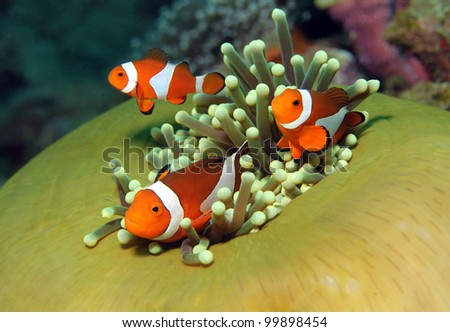 Three Western Clown Anemonefish in Anemone, Bunaken, Indonesia - stock photo