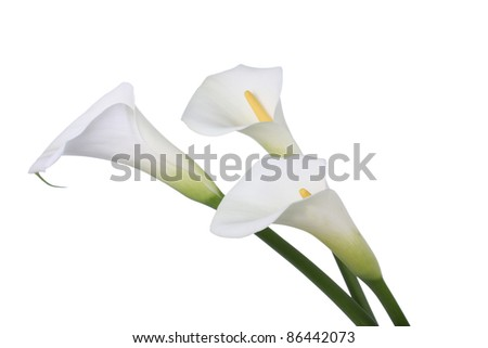 Three white Calla lilies - stock photo