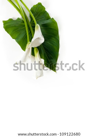 Three white Calla lilies with leaf - stock photo