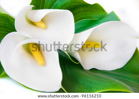 three white Calla lilies with leaf isolated on a white background - stock photo