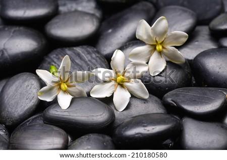Three White Gardenia on black pebbles  - stock photo