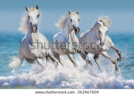 Three white horse run gallop in waves in the ocean - stock photo