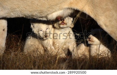 Three white lion cubs suckle and drink from their mother in this unique image. - stock photo