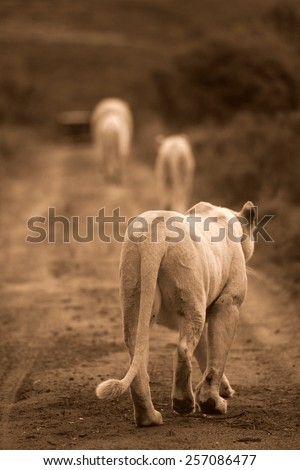 Three white lions walk towards a game drive vehicle while on Safari at Pumba Private Game reserve.