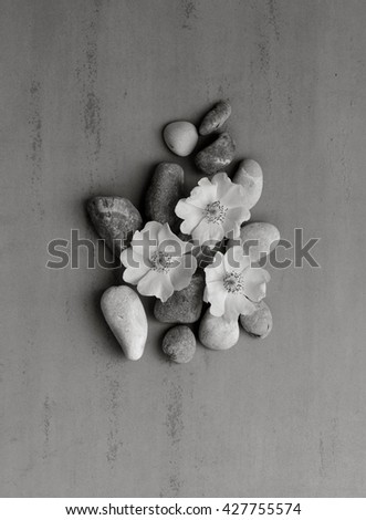 Three white pebbles on the flower wild rose on a gray background. Spa stones treatment scene, zen like concepts. black and white photo. Flat lay, top view - stock photo
