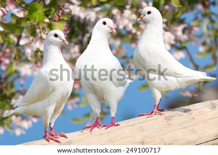 Three white pigeon on flowering background - imperial pigeon - ducula