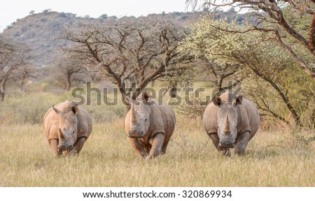 Three White Rhinos standing in savannah in South Africa - stock photo