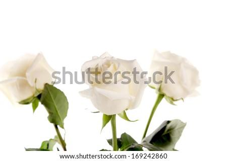 Three white roses on a white background - stock photo