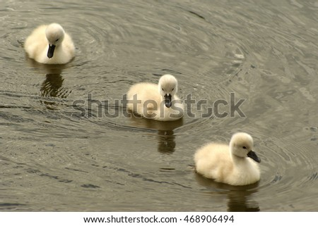 Three white swan chicks swimming in a row, the one in the middle is looking at the cam