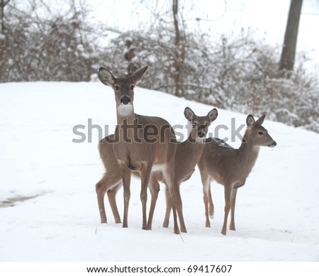 Three white-tailed deer does standing on a snow covered hillside - stock photo