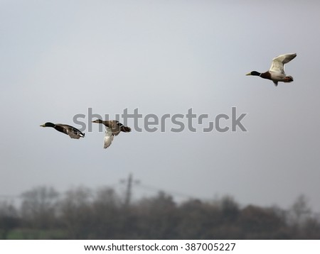 Three wild ducks in flight.