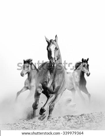 three wild horses in dust in monochrome - stock photo