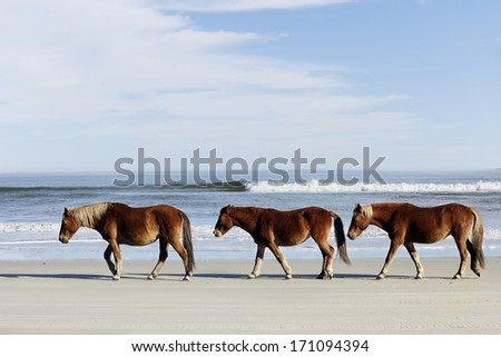 Three wild horses walking along the beach in Corolla, NC.   - stock photo