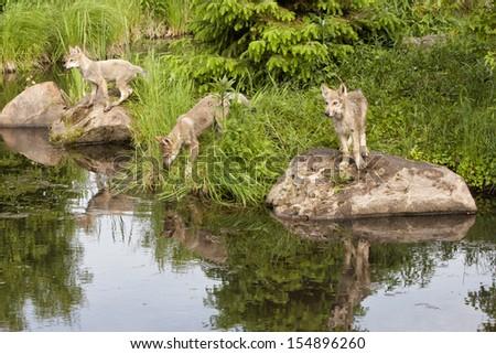 Three Wolf Pups Reflection - stock photo