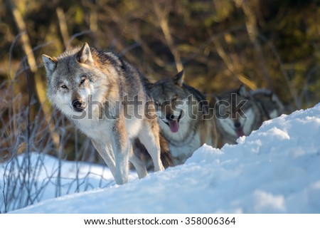 Three wolves walking in a line through winter woods - stock photo