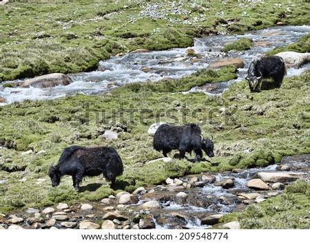 Three yaks at pasture near river - stock photo