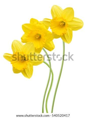 three yellow daffodil flowers isolated