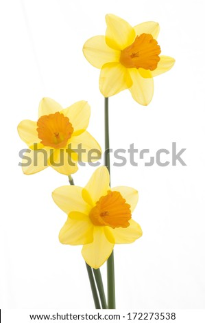 Three Yellow Daffodils on isolated on white background. Easy to add more space or room for copy, text, or your words.  - stock photo