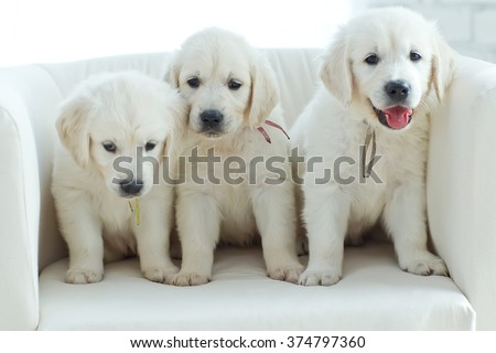 Three yellow lab puppies. - stock photo