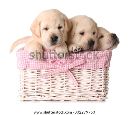 Three yellow lab puppies in a pink basket.