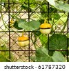 Three yellow small pumpkins in autumn - stock photo
