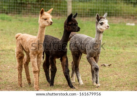 Three young alpacas all different colors