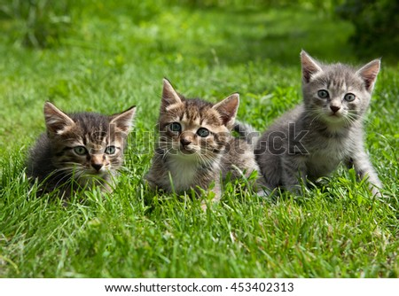 Three young cute kittens standing in the grass messing around and are looking at the camera