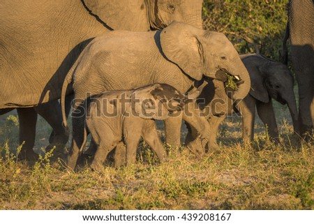 Three young elephants between adults at dusk