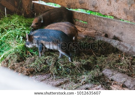 Three young hogs eat