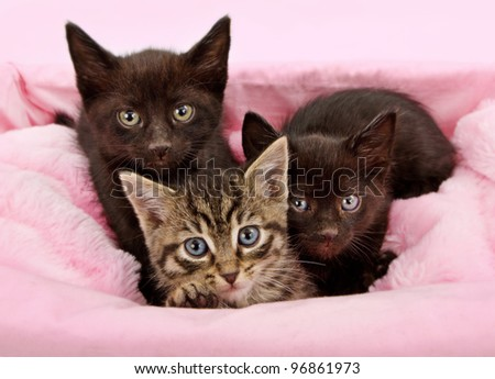 Three young six week old kittens sitting in a white basket with a pink blanket - stock photo