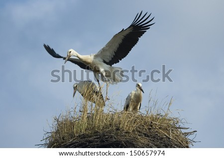 Three young storks in their nest
