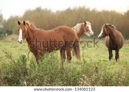 Three young welsh ponnies on autumn pasturage