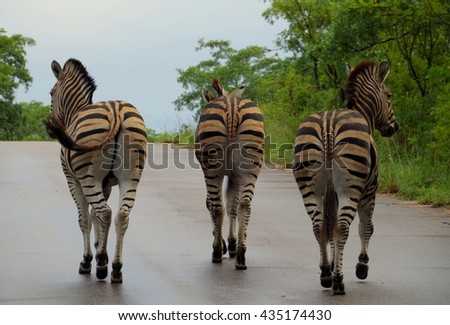 Three zebras going home .
