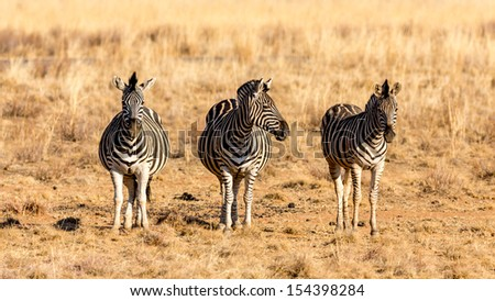 Three zebras standing next to each other in the dry savannah lands of Pilanesberg National Park, South Africa - stock photo