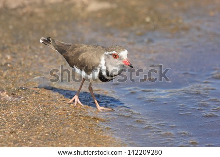 threebanded plover african savannah birds rivers and lakes africa birds birds birds birds birdwaching observation censuses African wildlife wild animals - stock photo