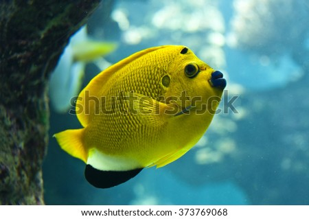 Threespot angelfish (Apolemichthys trimaculatus), close-up under water - stock photo
