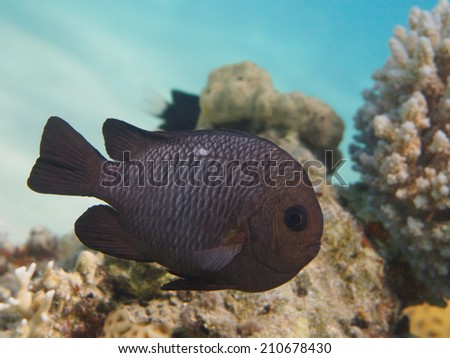 Threespot dascyllus tropical fish at the colorful coral reef - stock photo