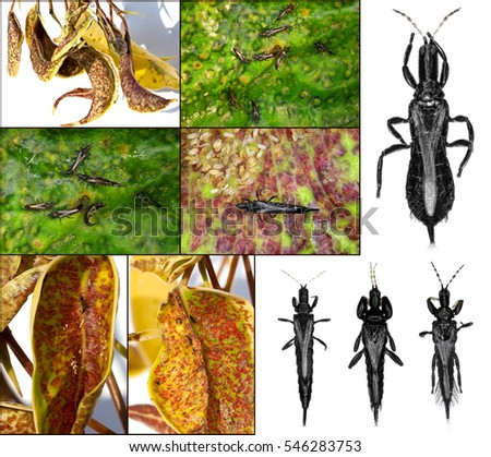 Thrips (order Thysanoptera) are minute, slender insects isolated on a white background and damage