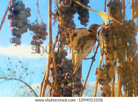Thrush and grapes. Winter scene.