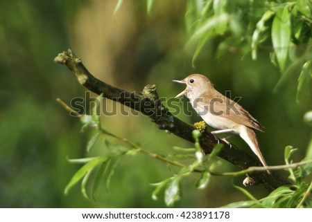 Thrush nightingale , Sprosser singing on a tree in the morning - stock photo
